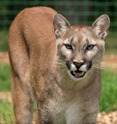 cougar-275946__340