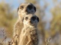 meerkat-255564__340