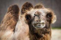 camel-1615446__340