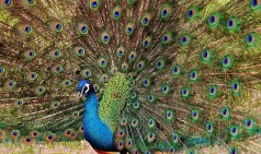 peacock-1312431__340